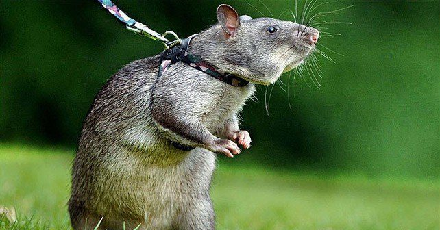 Sniffer Rats