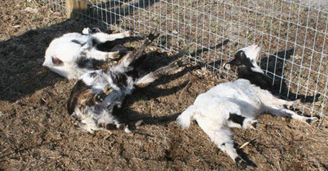 Funny Facts About Fainting Goats
