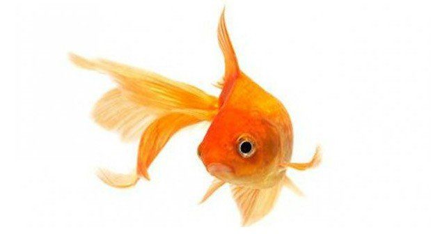 How Long Is A Goldfish Memory
