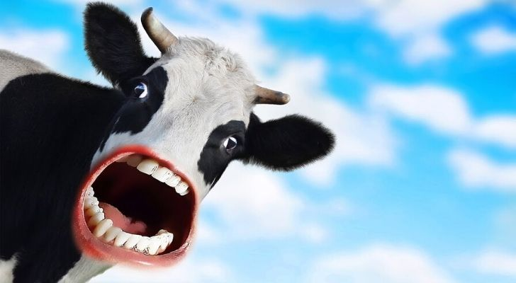 Cow with a shocked face