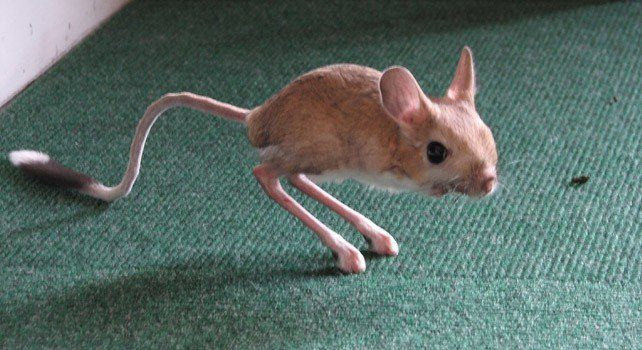 Jerboa Facts