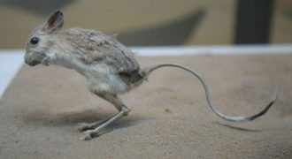 What is A Jerboa?