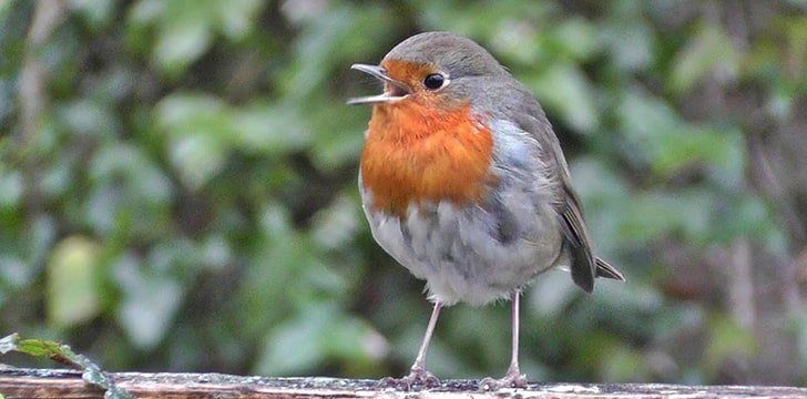 Amazing Red Robin Facts