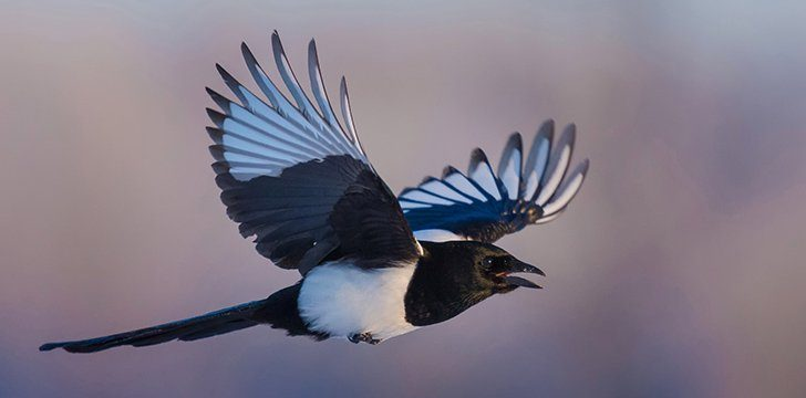 Magpies in History