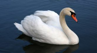 Swan Facts