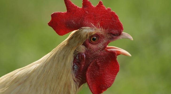 A cockerel looking shocked