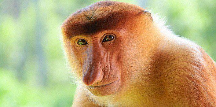 Fun Facts About Proboscis Monkeys