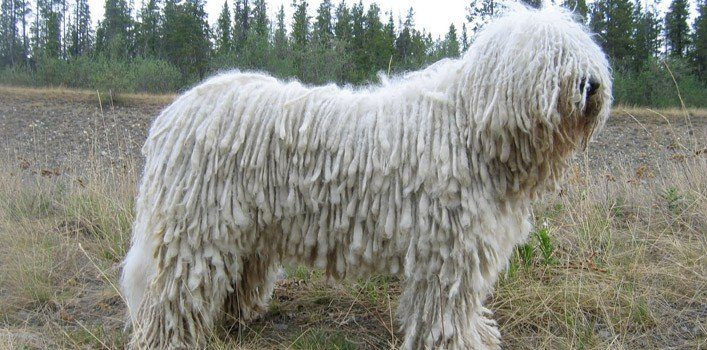 Fun Facts About Komondor Dogs