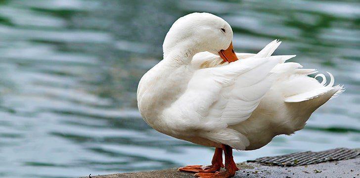 Preening helps ducks stay dry.