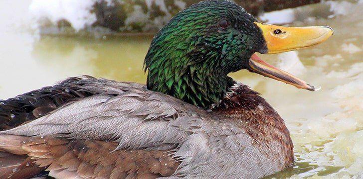 Duck's quacks do echo.