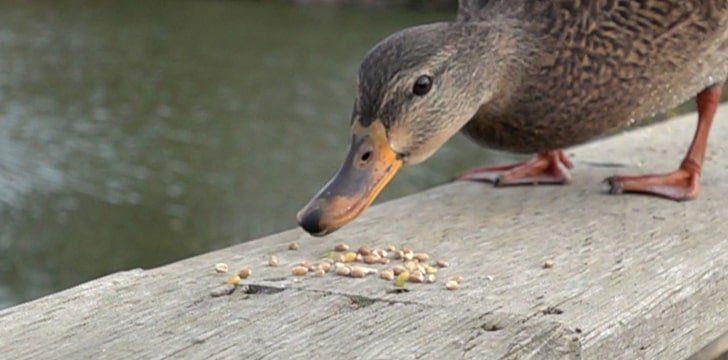 Ducks eat rocks.