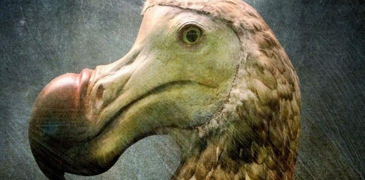 Illustration of a dodo