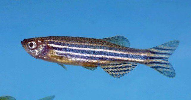 Zebrafish Facts