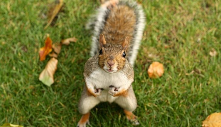 A mischievous looking squirrel facing the camera while having its picture taken