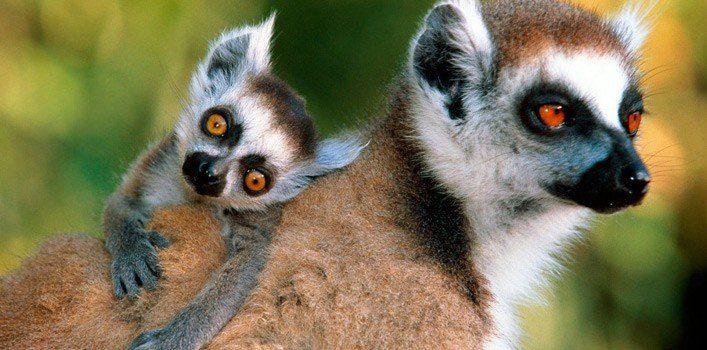 Fun Lemur Facts