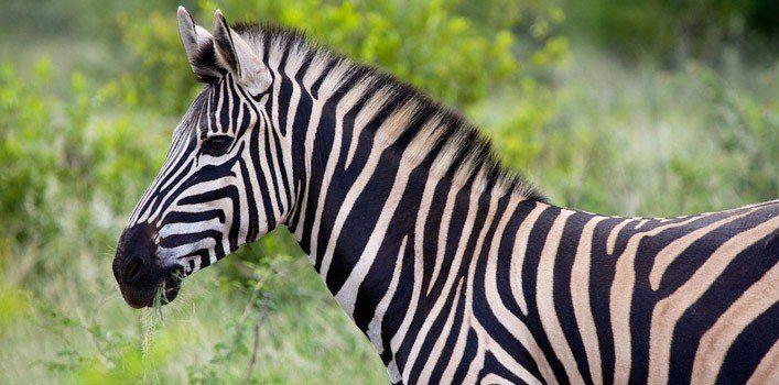 Fun Zebra Facts