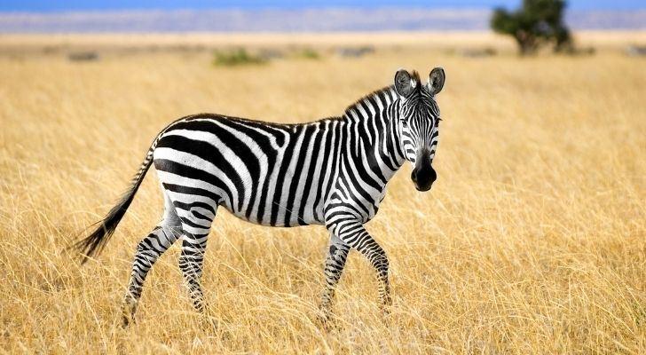 A zebra standing on dry grass