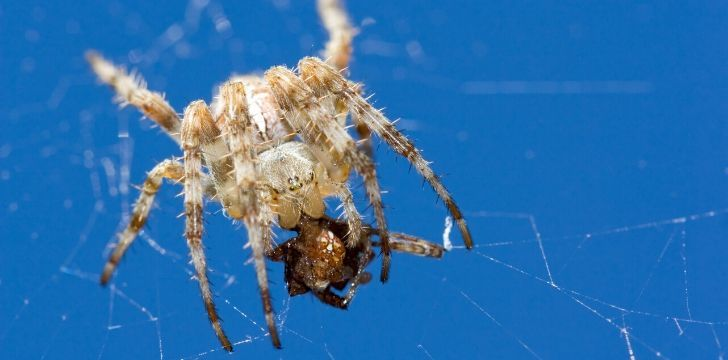 A spider on their web eating.