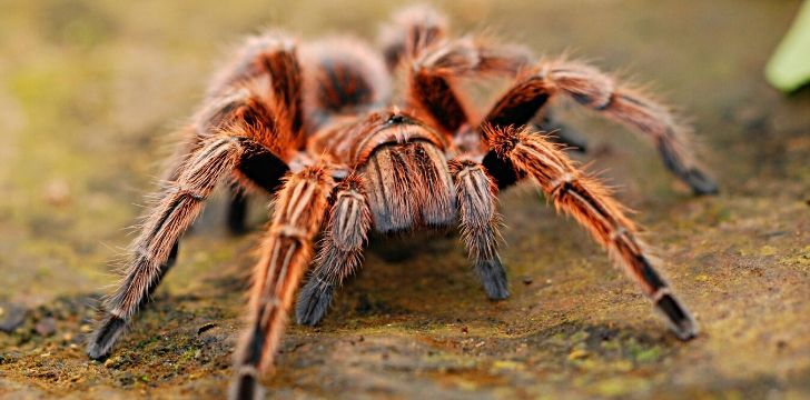 A big red hairy spider.
