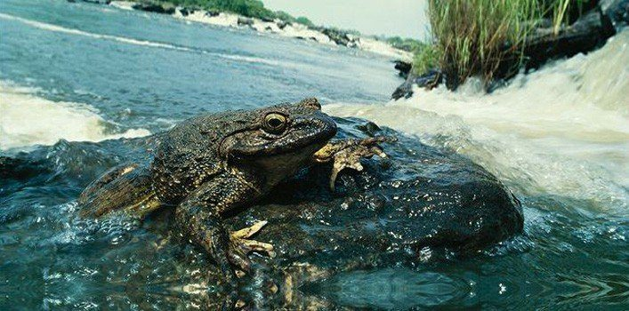 20 Facts About Goliath Frogs - The World's Largest Frog