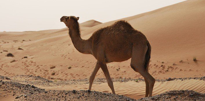 30 Fun Facts About Camels