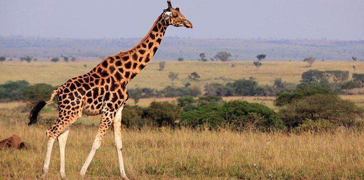 Random Giraffe Facts