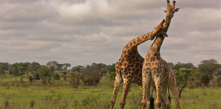 Giraffes In Love 30 Most Random Facts A...