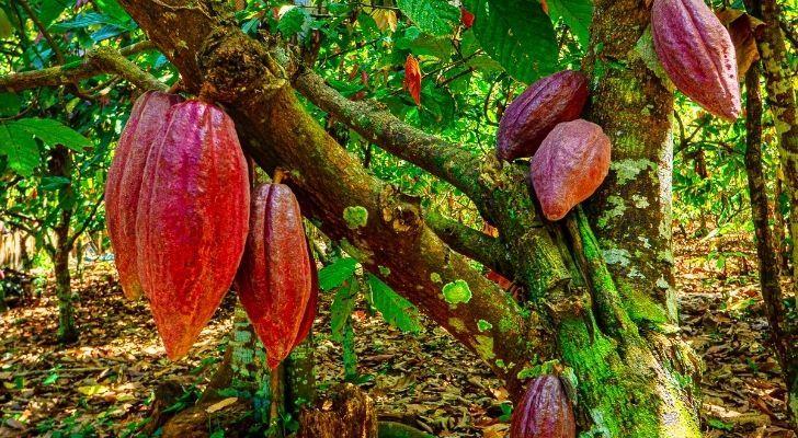 A cocoa tree