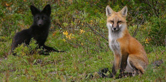 Melanistic (All Black) Fox