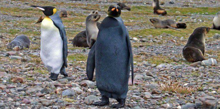 Melanistic Penguin