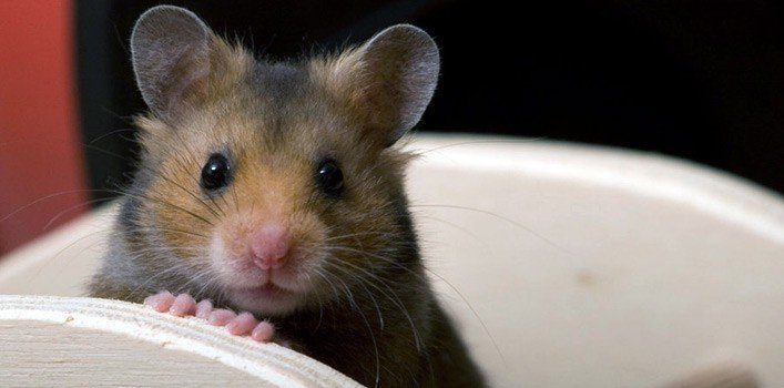 19 Facts About Hamsters