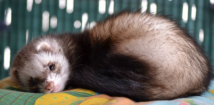 April 2nd - Ferret Day.
