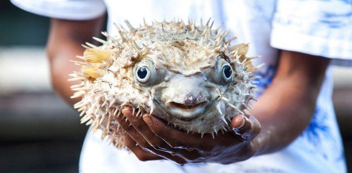 Fugu - Most Poisonous Food in the World