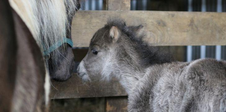 A baby grey horse