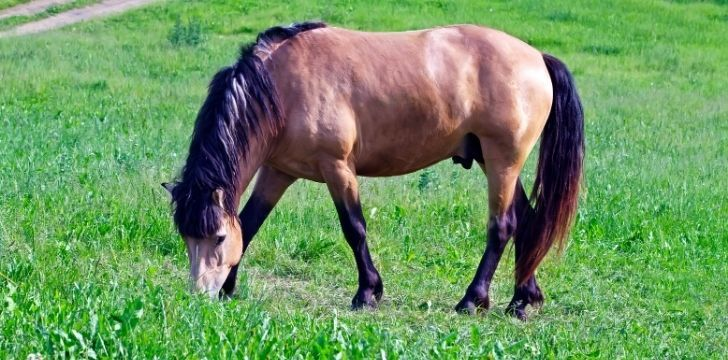 A horse eating grass