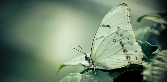 Cabbage White Butterfly Facts