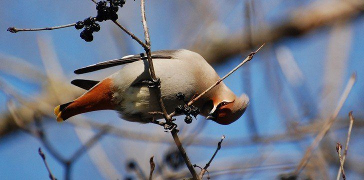 Bohemian Waxwing Birds Drunk