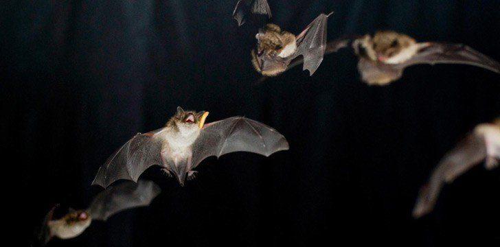 Drunk American Bats