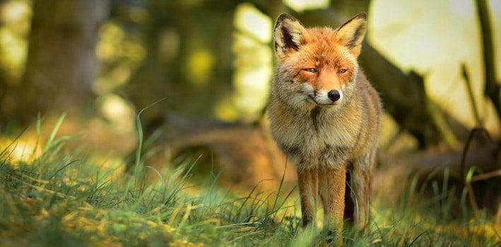 15 Fascinating Facts About Foxes