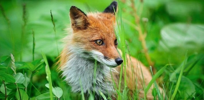 Fox In Tall Grass