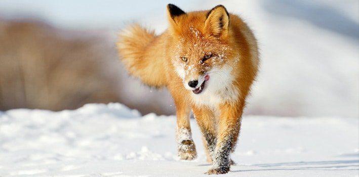 Fifteen Fox Facts