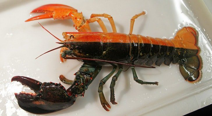 Half-and-Half Colored Lobster