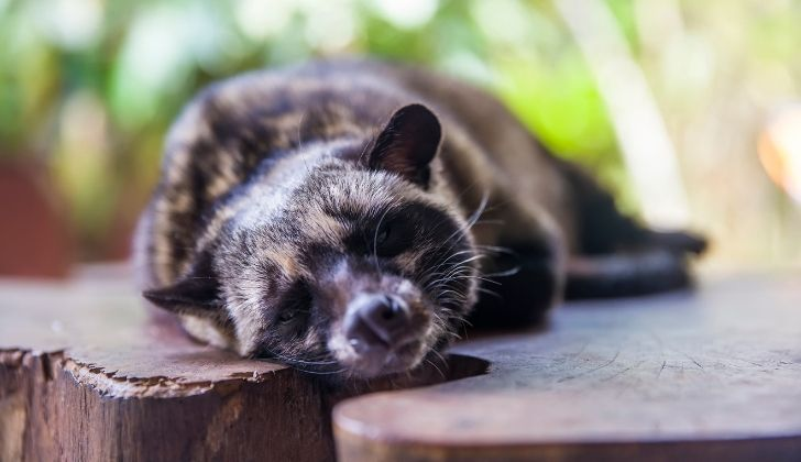 A civet animal resting on a table