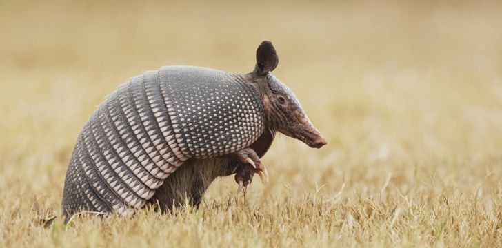 Armadillos have shells so hard they can deflect a bullet.