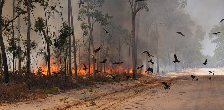Three types of Australian birds deliberately spread wildfires.