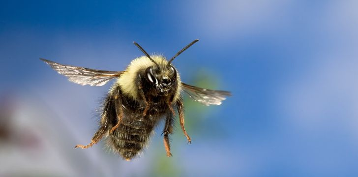 Bees can fly higher than Mount Everest!