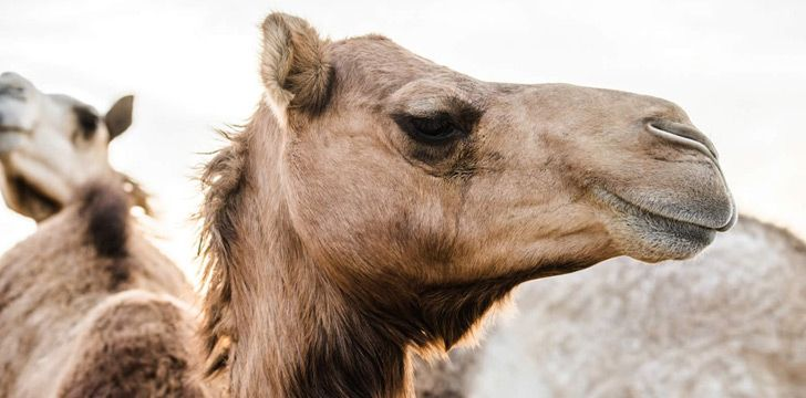 Camels don't actually store water in their humps.