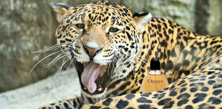 Cheetahs love Calvin Klein.