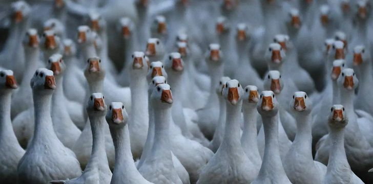 In China, the police use geese as sentries.