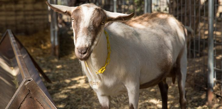 Scientists genetically modified goats to spin spider silk from their udders.